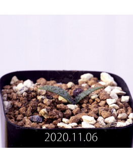 Massonia pygmaea マッソニア ピグマエア EQ812  16660