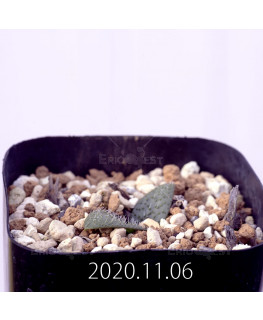 Massonia pygmaea マッソニア ピグマエア EQ812  16662