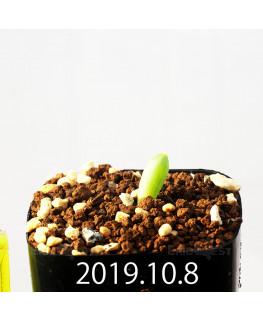 Albuca unifoliata アルブカ ウニフォリアータ EQ813  17078