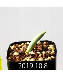 Albuca unifoliata アルブカ ウニフォリアータ EQ813  17083