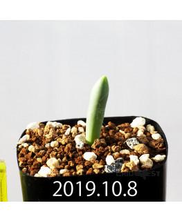 Albuca unifoliata アルブカ ウニフォリアータ EQ813  17086