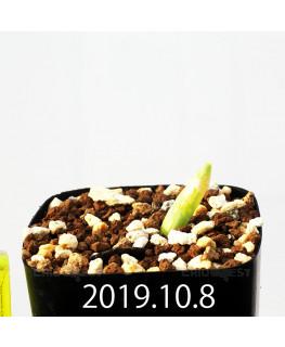 Albuca unifoliata アルブカ ウニフォリアータ EQ813  17088