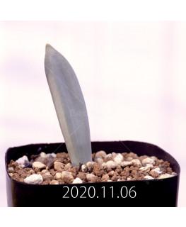 Albuca unifoliata アルブカ ウニフォリアータ EQ813  17098