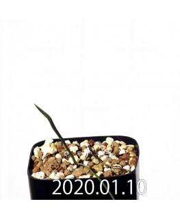 ラペイロージア シレノイデス EQ706 実生 17201