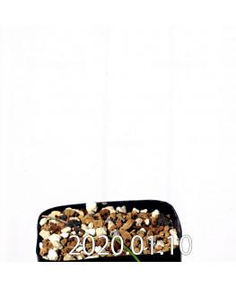 ラペイロージア シレノイデス EQ706 実生 17220