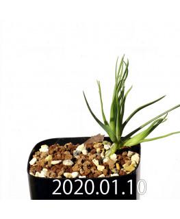 ラペイロージア シレノイデス EQ706 実生 17225