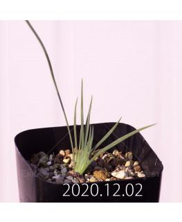 ラペイロージア シレノイデス EQ706 実生 17246