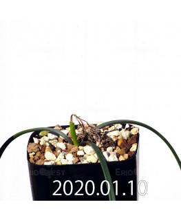 ラケナリア コリンボーサ EQ441 子株 17263