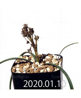 ラケナリア コリンボーサ EQ441 子株 17264