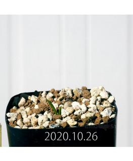 ラケナリア コリンボーサ EQ441 子株 17269
