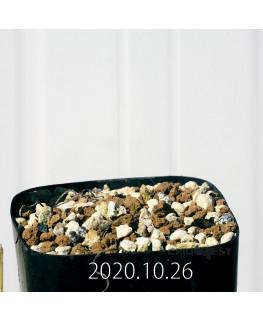 ラケナリア コリンボーサ EQ441 子株 17271