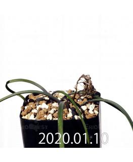ラケナリア コリンボーサ EQ441 子株 17272