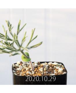 Eriospermum dregei エリオスペルマム ドレゲイ EQ605  17285