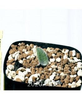 Eriospermum dregei エリオスペルマム ドレゲイ EQ605  17300
