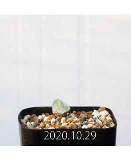 Eriospermum dregei エリオスペルマム ドレゲイ EQ605  17305