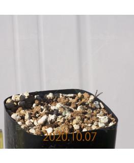 Eriospermum dregei エリオスペルマム ドレゲイ EQ605  17306