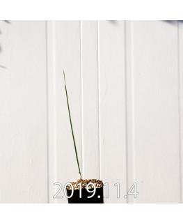 モラエア エレガンス オレンジイエロー 実生 17401