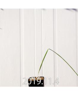 モラエア エレガンス オレンジイエロー 実生 17409