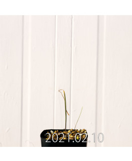 Lachenalia unifolia ラケナリア ウニフォリア ウニフォリア変種  17512