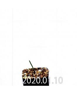 ラケナリア ウニフォリア ウニフォリア変種 実生 17514