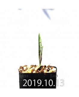 ラケナリア アロイデス クアドリカラー変種 実生 17603