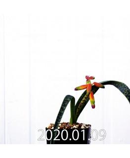 ラケナリア アロイデス クアドリカラー変種 実生 17608