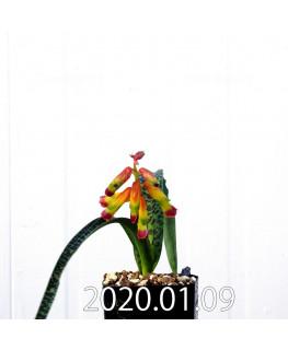 ラケナリア アロイデス クアドリカラー変種 実生 17610