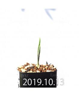 ラケナリア アロイデス クアドリカラー変種 実生 17618