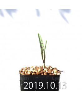 ラケナリア アロイデス クアドリカラー変種 実生 17619