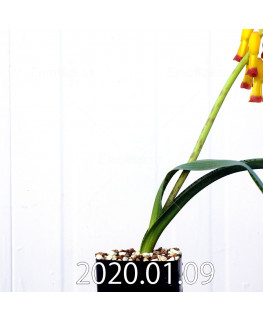 ラケナリア アロイデス クアドリカラー変種 実生 17626