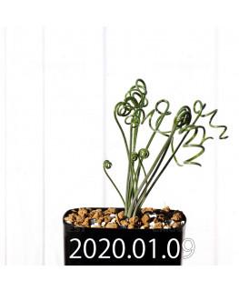 アルブカ スピラリス EQ108 実生 17741