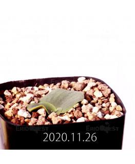 Massonia echinata マッソニア エキナータ EQ830  17830