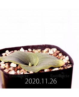 Massonia echinata マッソニア エキナータ EQ830  17834
