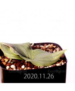 Massonia echinata マッソニア エキナータ EQ830  17836