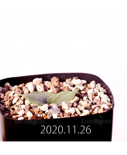 Massonia echinata マッソニア エキナータ EQ830  17838
