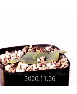 Massonia echinata マッソニア エキナータ EQ830  17849