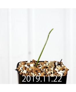 ラケナリア コリンボーサ EQ453 子株 17891