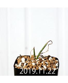ラケナリア コリンボーサ EQ453 子株 17896