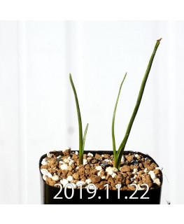ラケナリア コリンボーサ EQ453 子株 17899