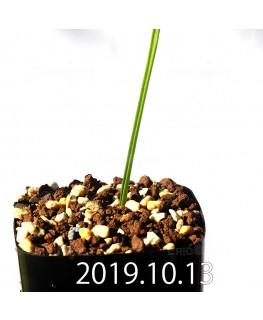 ラケナリア コリンボーサ EQ453 子株 17906