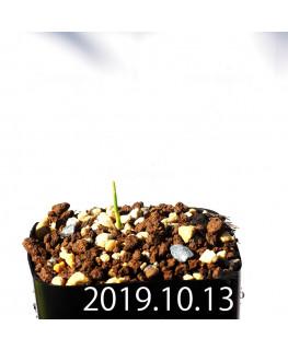 ラケナリア コリンボーサ EQ453 子株 17909