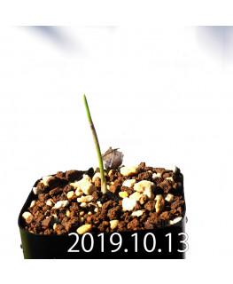ラケナリア コリンボーサ EQ453 子株 17912