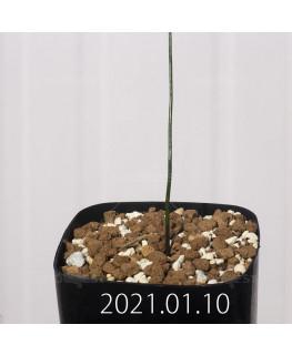 ラケナリア コリンボーサ EQ453 子株 17913