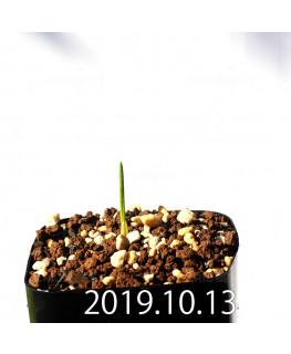 ラケナリア コリンボーサ EQ453 子株 17914