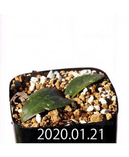 マッソニア ジャスミニフローラ EQ841 実生 18204