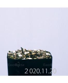 エリオスペルマム カペンセ EQ428 実生 18238