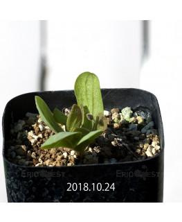 オキザリス モノフィラ 白花 子株 1838