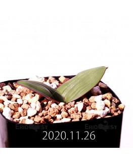 Daubenya marginata ダウベニア マルギナータ EQ843  18391