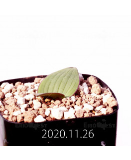 Daubenya marginata ダウベニア マルギナータ EQ843  18402