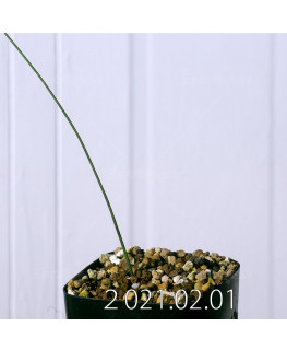 Moraea macronyx モラエア マクロニクス EQ847  18475